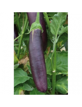AUBERGINE Longue violette...