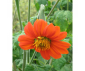 Tithonia (tournesol du...