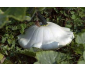 COURGE patisson blanc