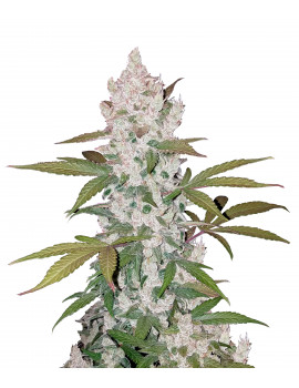 COOKIES AUTO (GIRL SCOUT)...